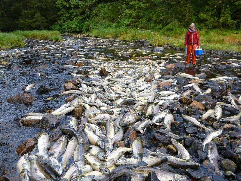 Pre-spawn die-off Chum salmon photo Jody Eriksson